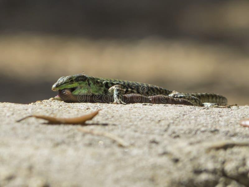 La lucertola di sabbia mangia i lombrici fotografia stock libera da diritti