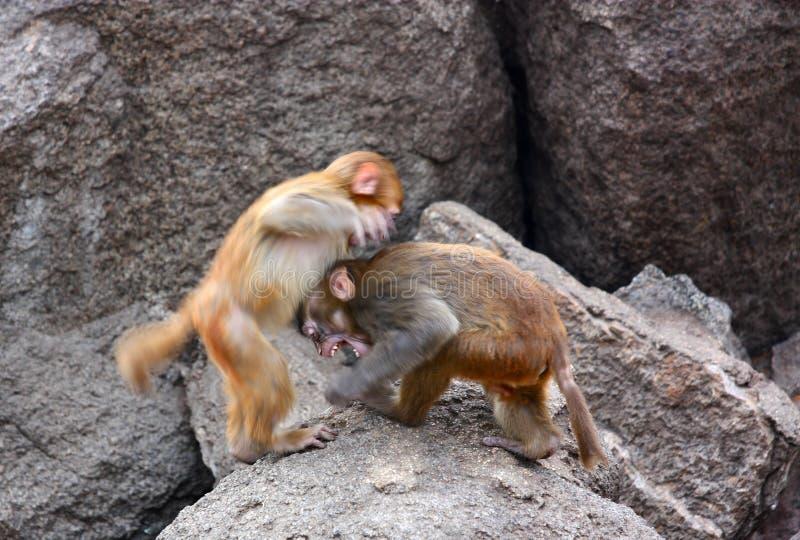 La lucha de los monos foto de archivo