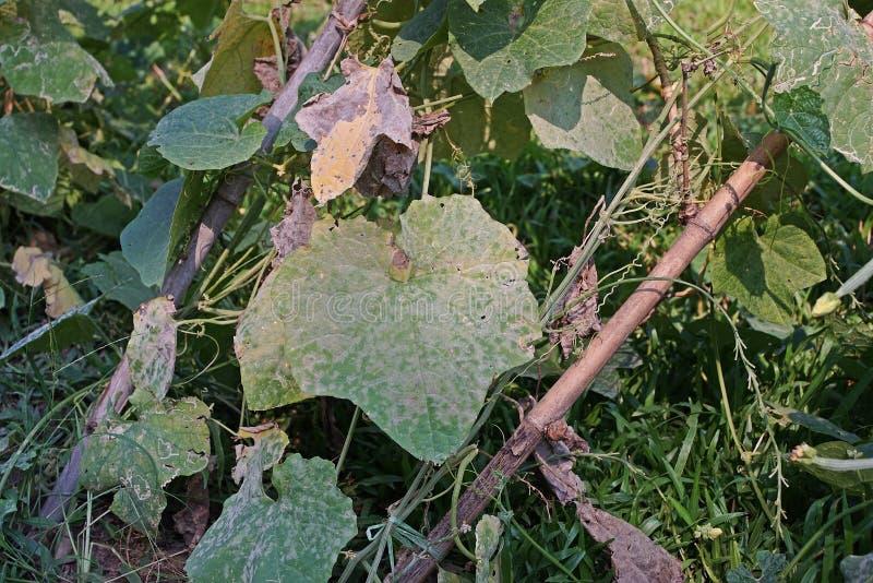 La luffa ad angolo, cucurbitacee che la pianta coltiva per i suoi frutti non maturi come verdura, foglie danneggia da permesso de fotografie stock libere da diritti
