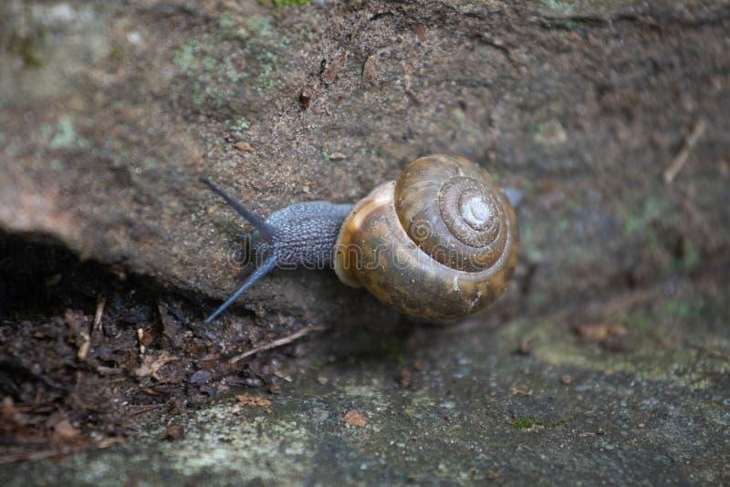 La lumaca blu striscia lungo una roccia fotografia stock