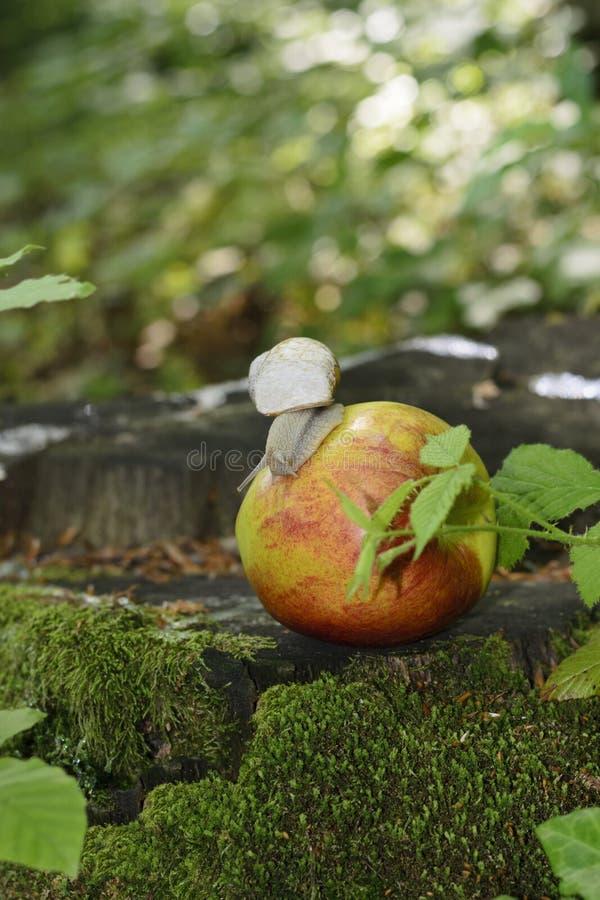 la lumaca dell'uva con la sua conchiglia striscia su una mela fotografie stock
