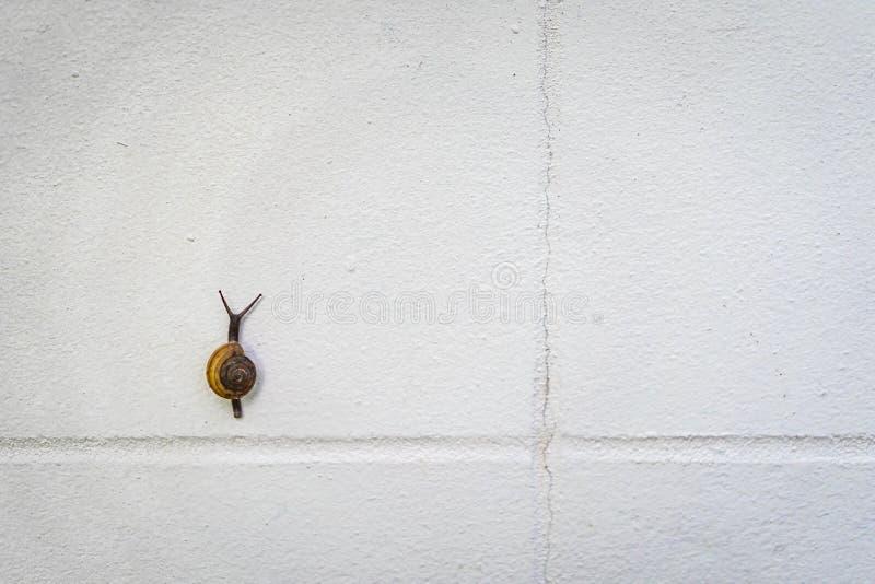 La lumaca nera e marrone piccolo sta scalando su una parete bianca fotografia stock