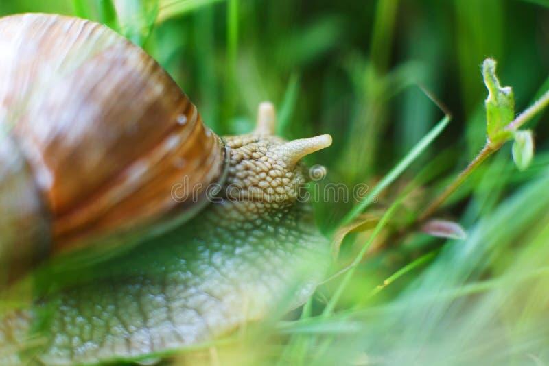 La lumaca striscia nell'erba fotografia stock libera da diritti