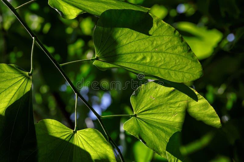 La lumière de Sun est brillante par les feuilles de Yong photo stock