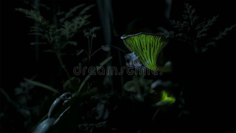 La lumière des champignons attire un scarabée de clic image stock