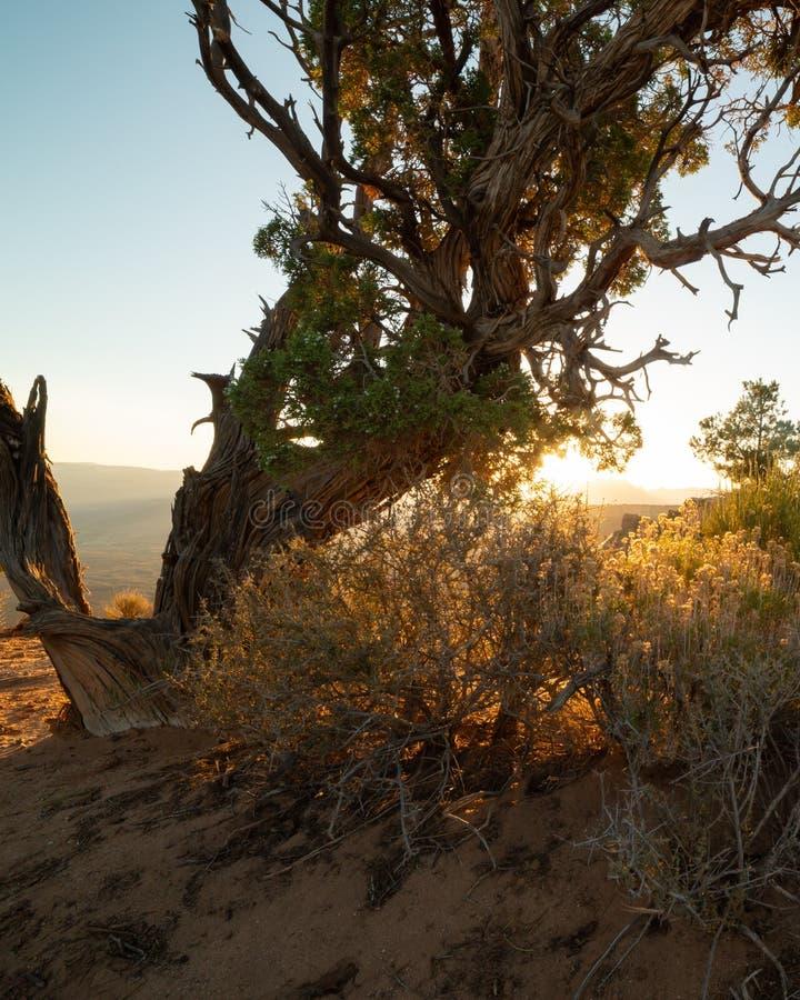 La lumière du soleil de début de la matinée brille par les branches d'un arbre tordu de genévrier de désert et des buissons de bi photos libres de droits