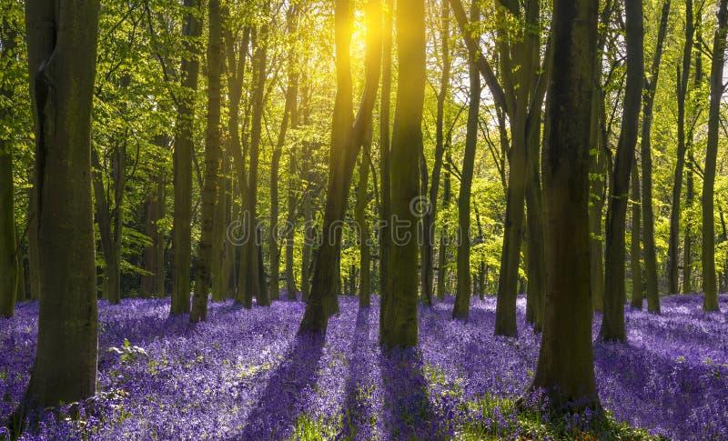 La lumière du soleil moule des ombres à travers des jacinthes des bois dans un bois photographie stock