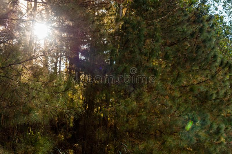 La lumière du soleil perçant la forêt 01 de pin photos libres de droits