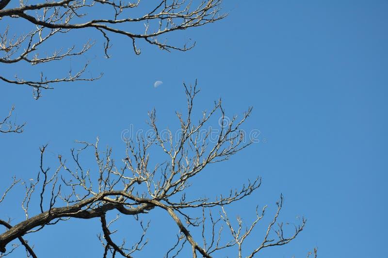 La luna y los árboles en el cielo claro fotografía de archivo libre de regalías