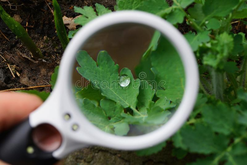 La lupa blanca aumenta la hoja verde de la planta con un descenso del rocío foto de archivo