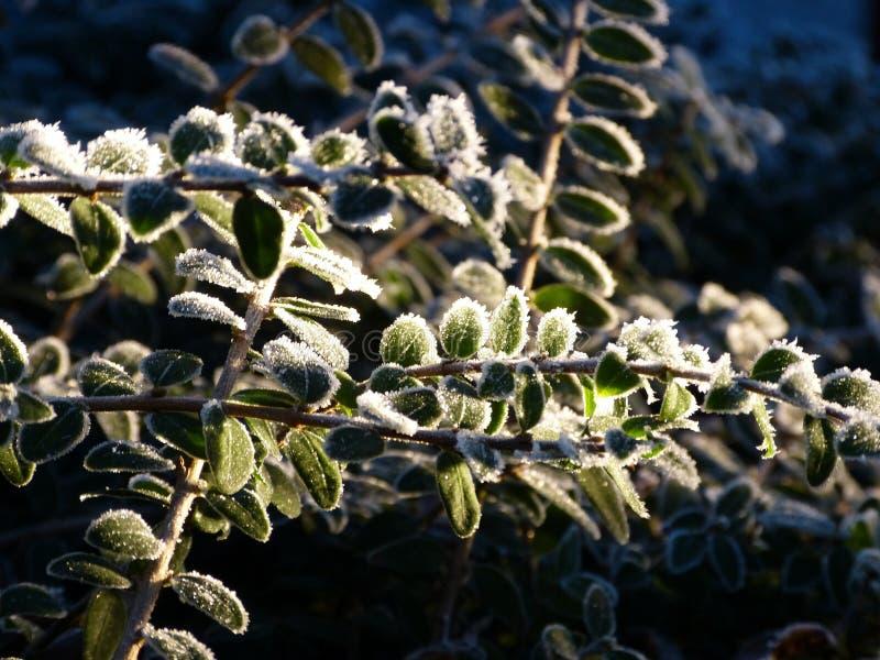 La luz brilla a través de las hojas congeladas fotografía de archivo libre de regalías