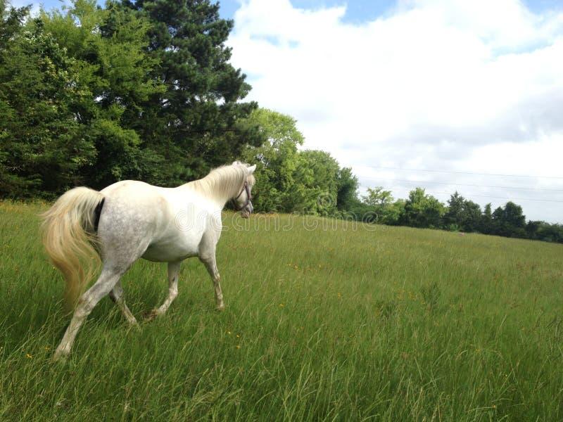 La luz Dapple a Gray Horse Pony en prado fotos de archivo