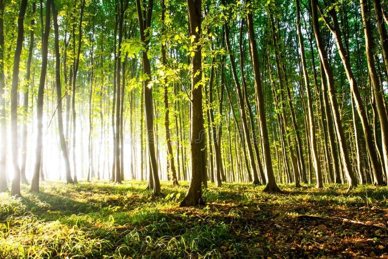 La luz de la mañana del sol hace su manera a través del bosque imagen de archivo libre de regalías