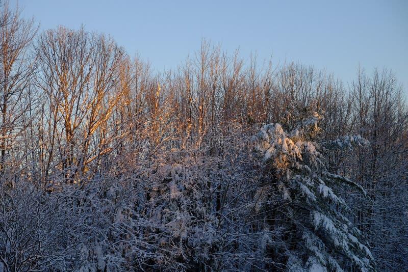 La luz del sol de la madrugada enciende para arriba las ramas nevadas frescas o imágenes de archivo libres de regalías