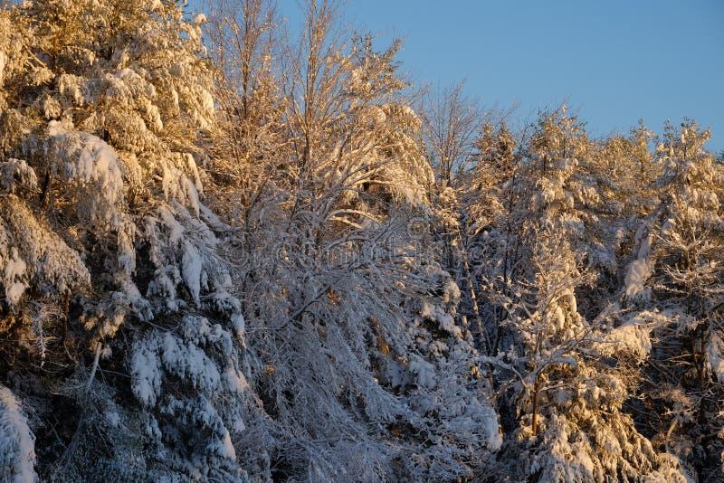 La luz del sol de la madrugada enciende para arriba las ramas nevadas frescas o foto de archivo libre de regalías
