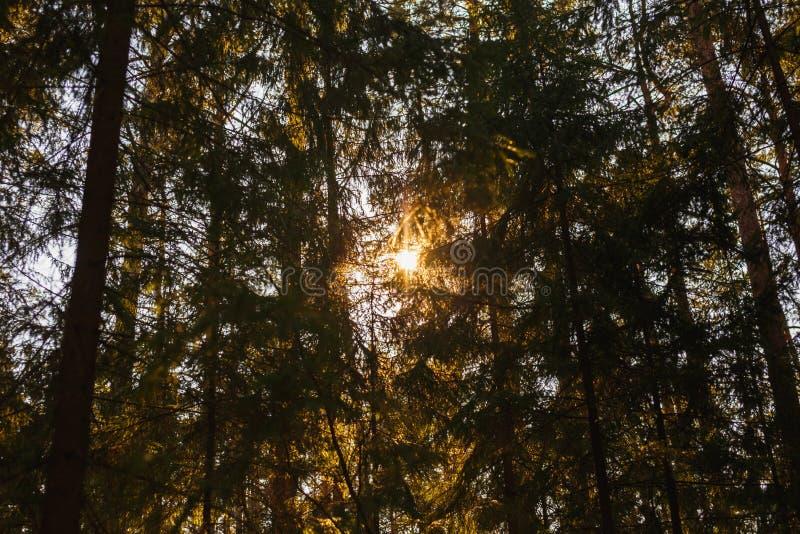 La luz del sol en la puesta del sol a través de la corona de abetos en el bosque fotografía de archivo