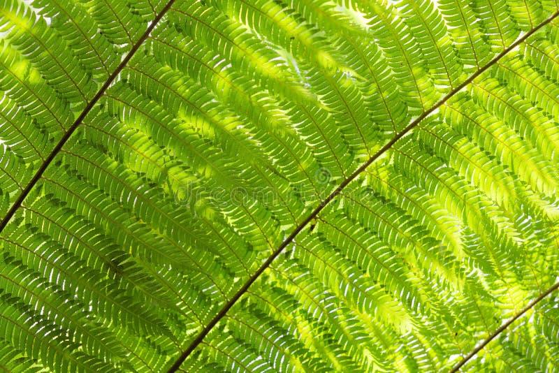 La luz del sol hizo excursionismo el fondo floral natural de las hojas de las frondas del helecho del Cyathea imagenes de archivo