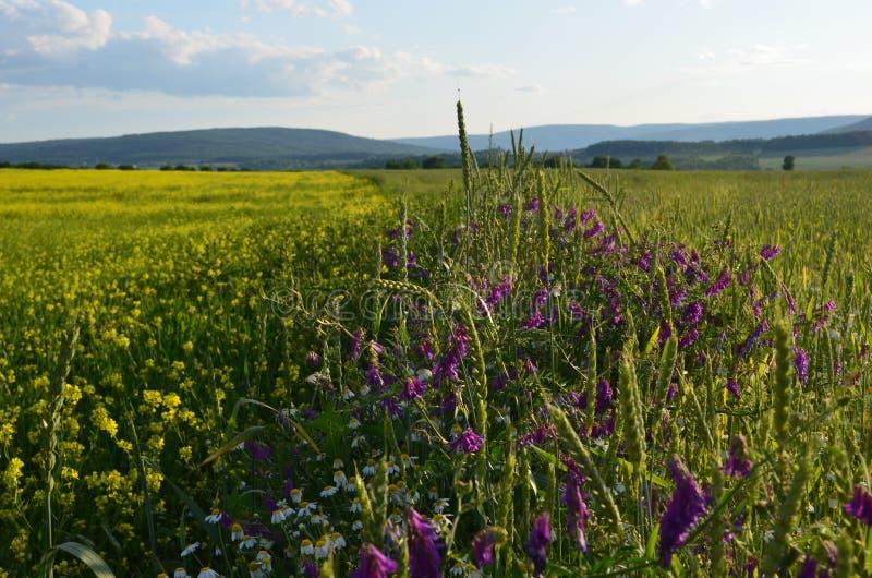 La luzerne de fleur et les champs de blé jaunes se sont divisés par des wildflowers sur une colline photographie stock libre de droits