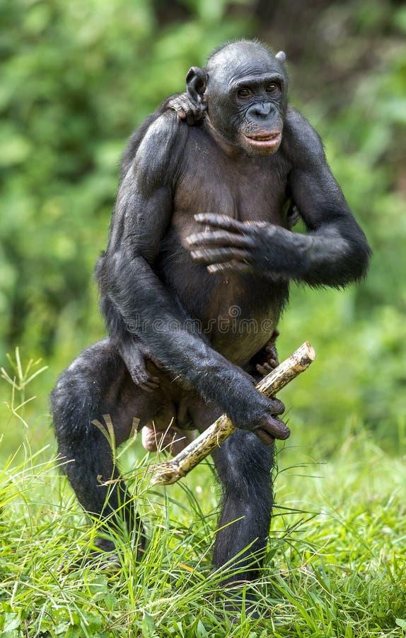 La mère de bonobo (paniscus de casserole) avec l'petit animal se tenant sur ses jambes et promenade CUB sur un dos à la mère image stock