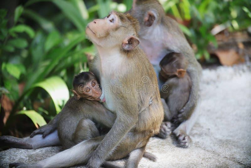 La mère de singe allaite photographie stock