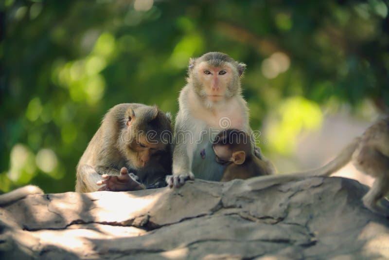 La mère de singe allaite image stock