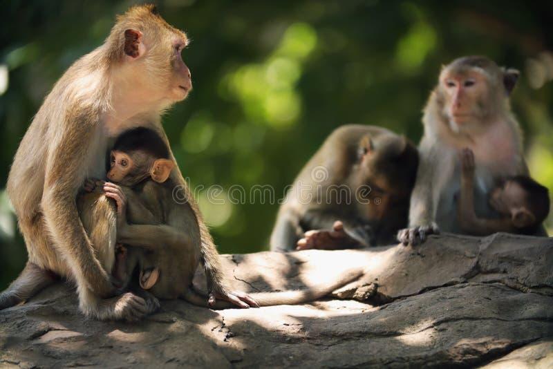 La mère de singe allaite photos libres de droits