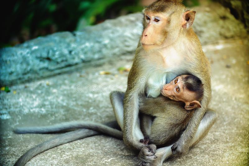 La mère de singe est breastfeedin images libres de droits