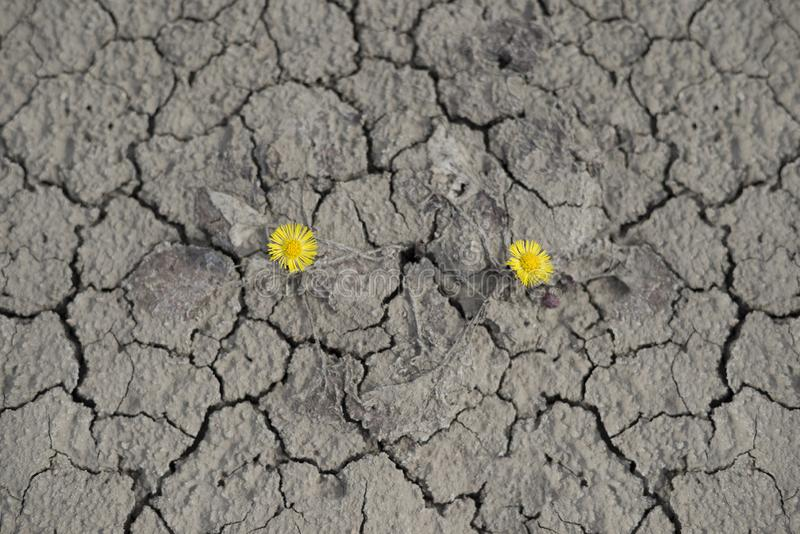 La mère et la belle-mère de fleur se développe dans le désert image libre de droits