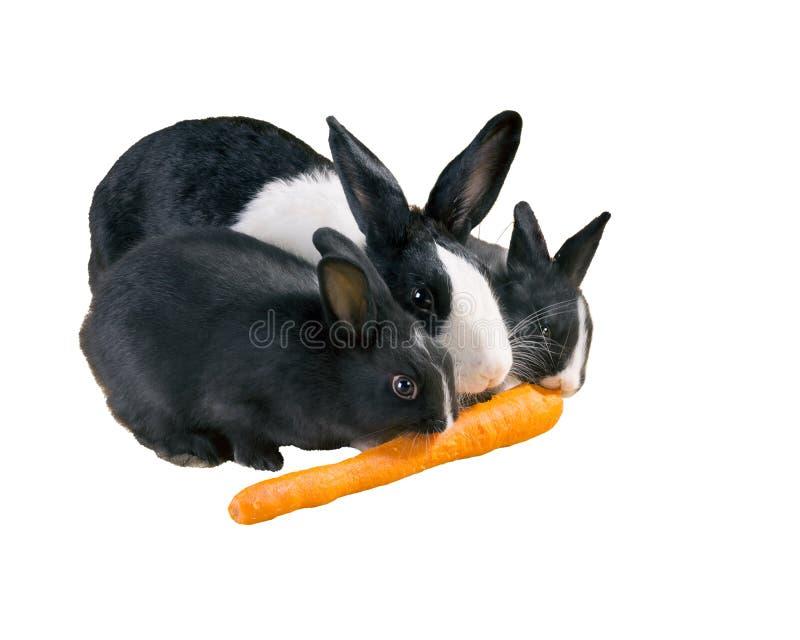 La mère et le bébé de nain de lapin de trois Néerlandais mangent la carotte isolat images stock
