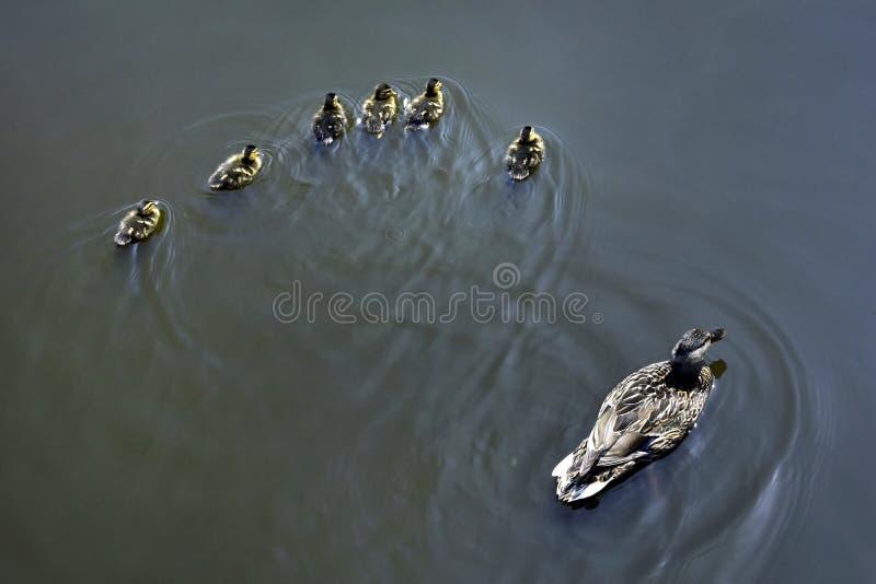 La mère et le petit caneton nagent pour la nourriture à l'étang en parc en Russie photo stock