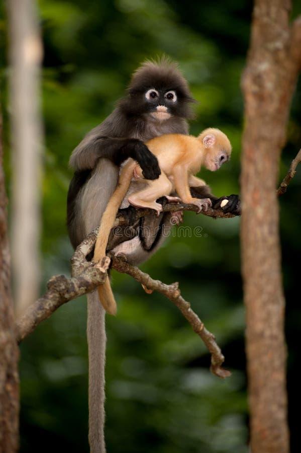 La mère et ses singes de bébé sont malfaisants (obscura reid de Presbytis). photographie stock libre de droits
