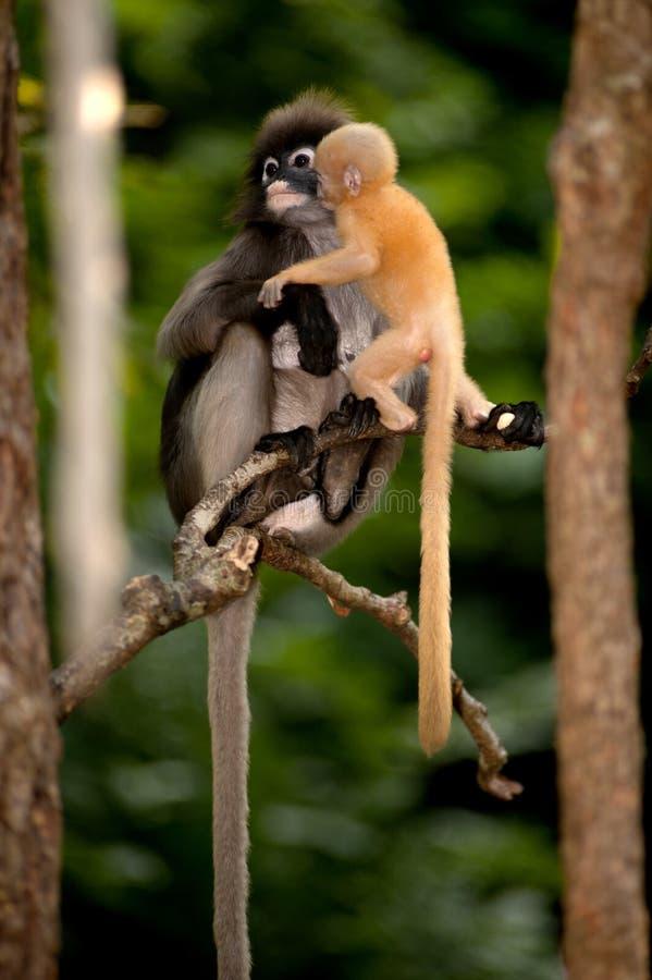 La mère et ses singes de bébé sont malfaisants (obscura reid de Presbytis). image stock