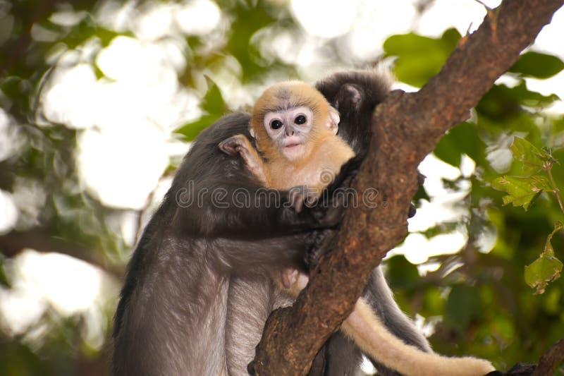 La mère et ses singes de bébé sont malfaisants (obscura reid de Presbytis). photos libres de droits