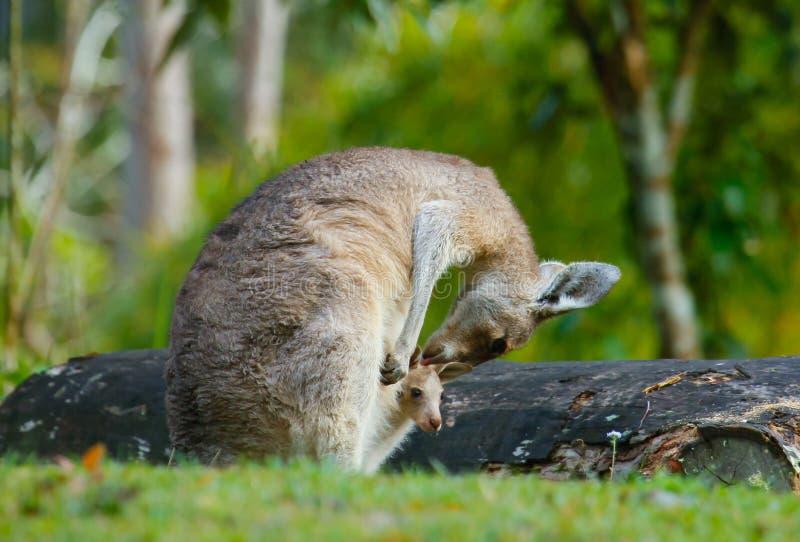 La mère grise de kangourou tend son joey photo libre de droits