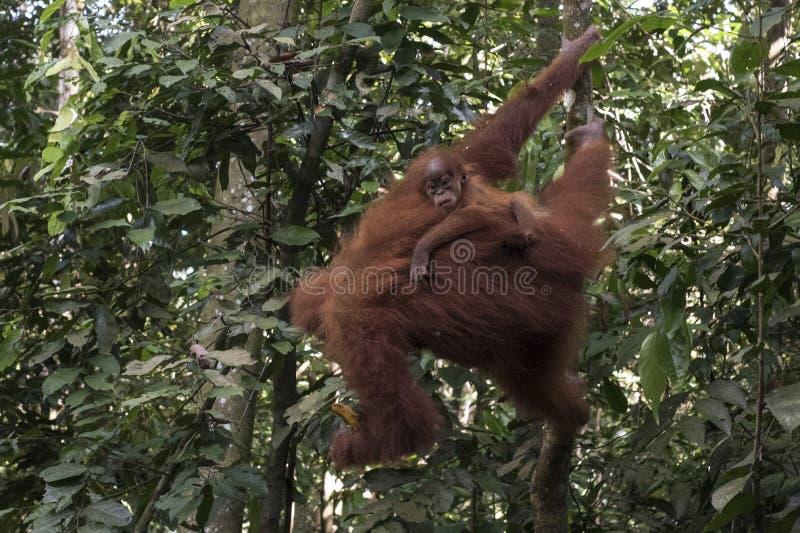 La mère sauvage d'orang-outan et son bébé sont vus dans les arbres de la terre dans la jungle photo libre de droits