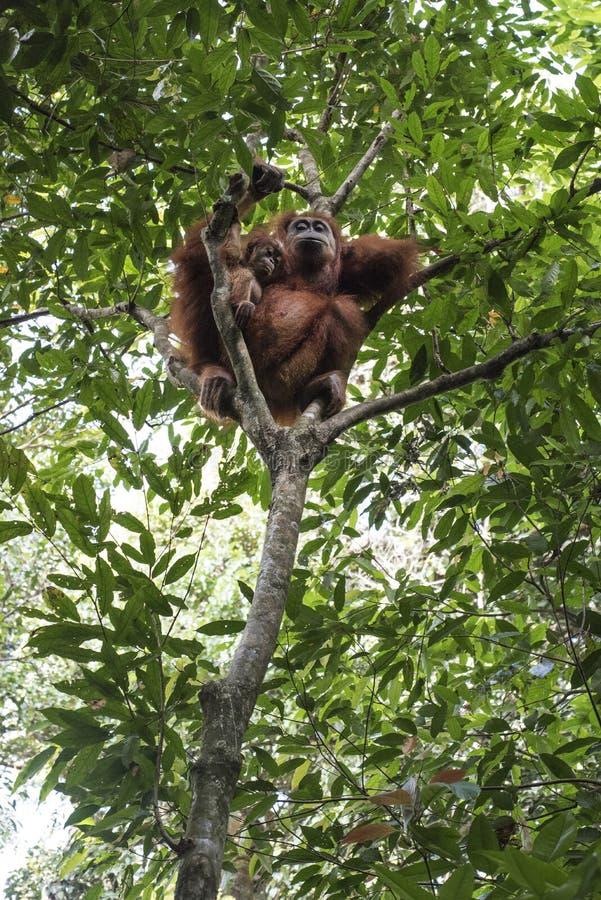 La mère sauvage d'orang-outan et son bébé sont vus dans les arbres de la terre dans la jungle images stock
