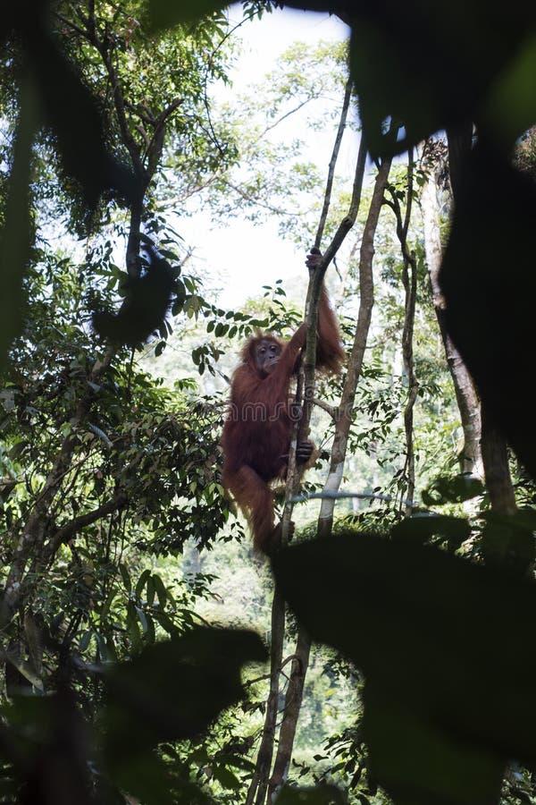 La mère sauvage d'orang-outan et son bébé sont vus dans les arbres de la terre dans la jungle photo stock