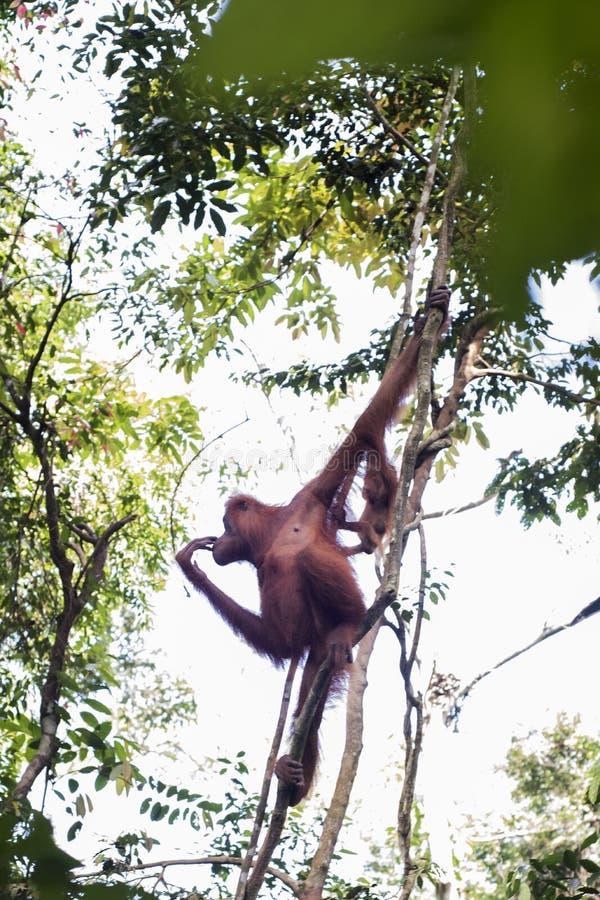La mère sauvage d'orang-outan et son bébé sont vus dans les arbres de la terre dans la jungle photographie stock