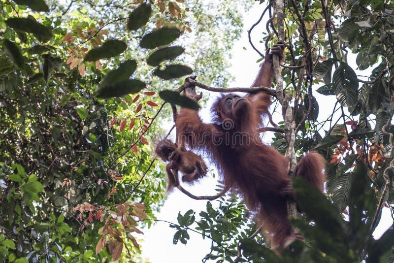 La mère sauvage d'orang-outan et son bébé sont vus dans les arbres de la terre dans la jungle image libre de droits