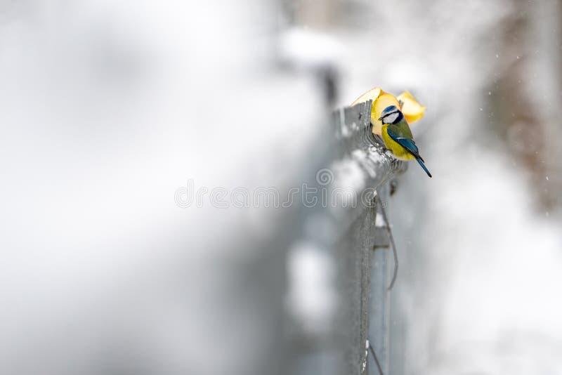 La mésange bleue se reposent sur la barrière image stock