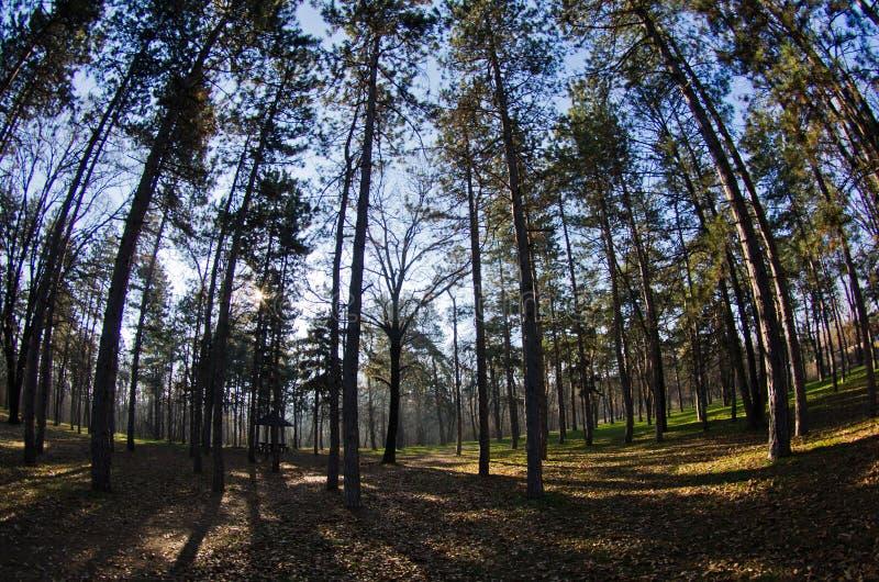 La mañana en el bosque del pino, sol irradia a través de ramas fotografía de archivo libre de regalías