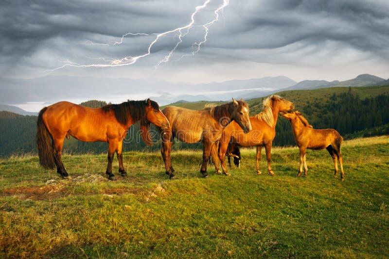 La mañana soleada y los caballos libres pastan en el top entre panoramas cárpatos salvajes de Ucrania todo el verano y otoño, y p fotografía de archivo libre de regalías