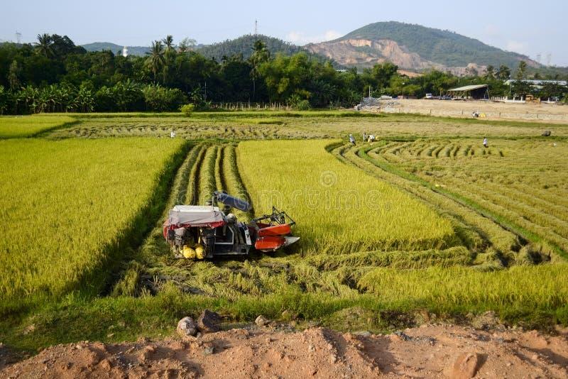 La macchina della mietitrebbiatrice raccoglie il riso maturo su un campo immagini stock libere da diritti