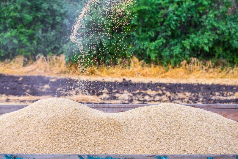 La macchina per effettuare i raccolti del grano - la mietitrebbiatrice nell'azione sul giacimento della segale al giorno di estat fotografie stock