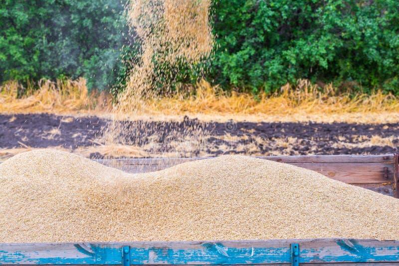 La macchina per effettuare i raccolti del grano - la mietitrebbiatrice nell'azione sul giacimento della segale al giorno di estat fotografie stock libere da diritti