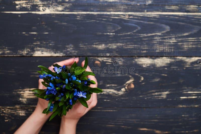 La maceta con el snowdrop azul florece en las manos femeninas, completamente endecha foto de archivo