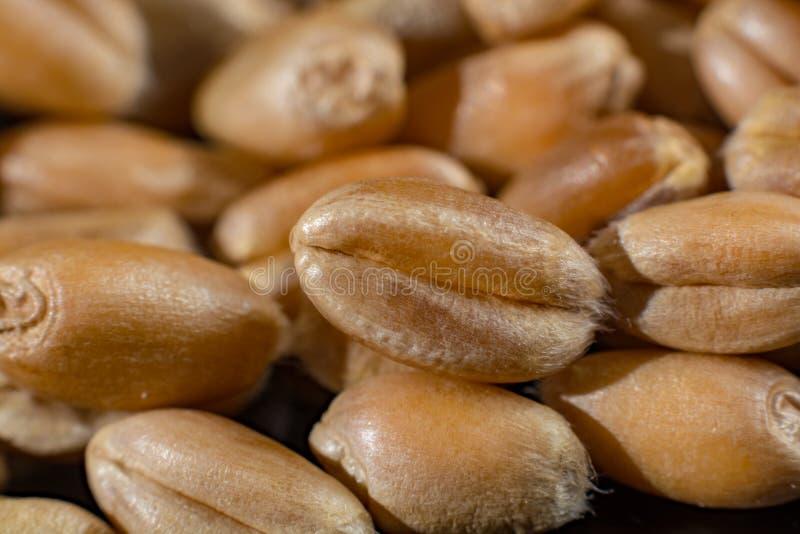 La macro collection, les graines blanches sèches de blé se ferment sur le noir images libres de droits