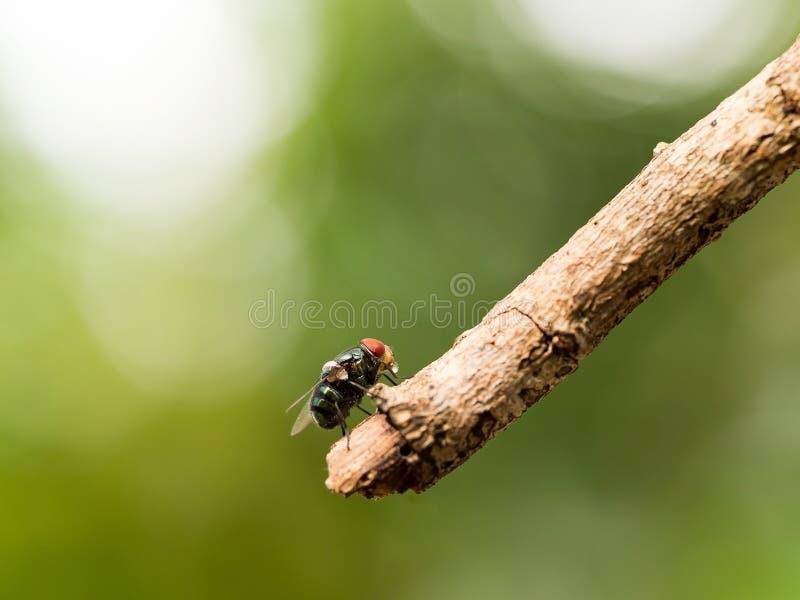 La macro del primer de la mosca verde o la mosca de greenbottle en rama que come la comida por la saliva del escupitajo licua en  fotos de archivo libres de regalías