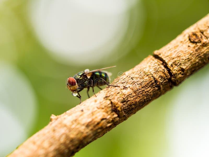 La macro del primer de la mosca verde o la mosca de greenbottle en rama que come la comida por la saliva del escupitajo licua en  foto de archivo libre de regalías