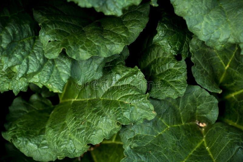 La macro del primer del pieplant del ruibarbo deja textura verde del fondo imagen de archivo